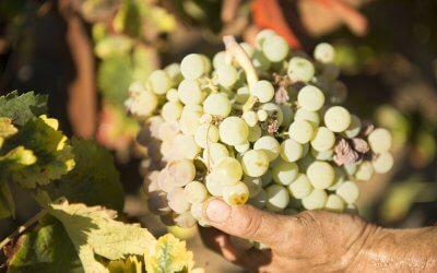 Bodegas del Socorro comienza la vendimia de uva zalema con una previsión de crecimiento del 15% en la producción