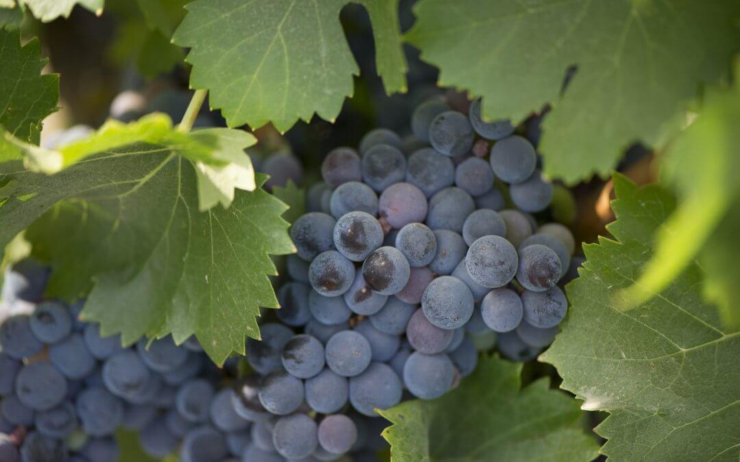 Bodegas del Socorro inicia la campaña de la vendimia con la recolección de la uva tinta