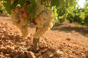 El vino Viñagamo de Bodegas del Socorro, seleccionado como mejor blanco joven por la D. O. Condado de Huelva en una cata a ciegas