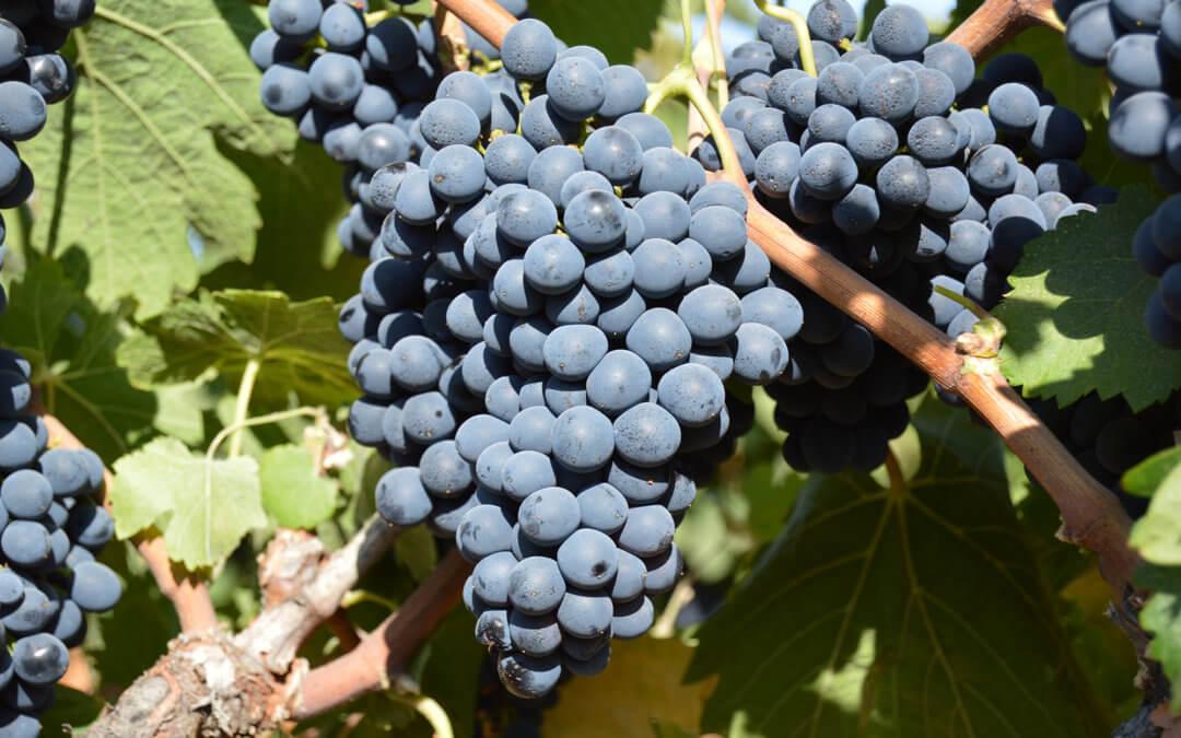 Bodegas del Socorro cierra la campaña de recolección de la uva tinta con un incremento del 10% en la producción